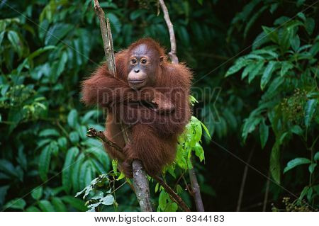 Young  Orangutan.