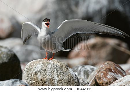 The Common Tern.
