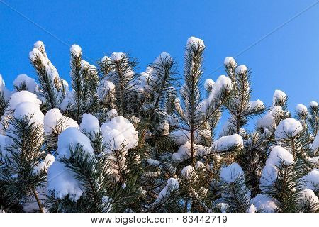 Conifer In Winter