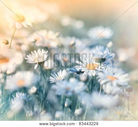 Meadow flowers - daisy