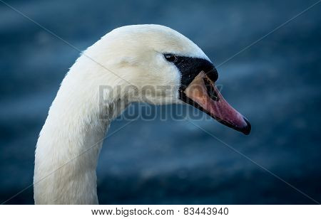 Portrait Of A Beautiful Swan