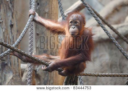 little Orang Utan