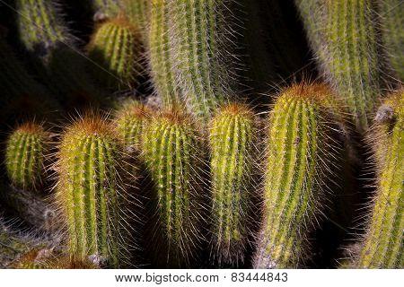 Grouping Of desert Ccactus Close-up