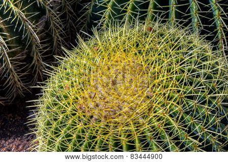 Single Barrel Cactus Close-up
