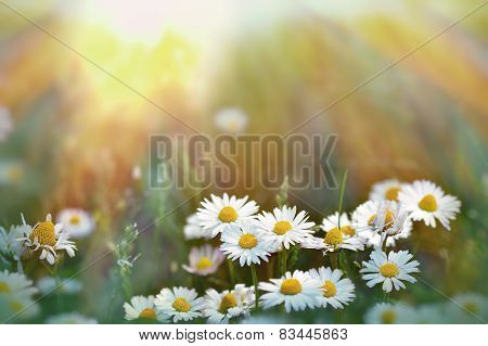 Daisy flowers in grass lit by sunlight