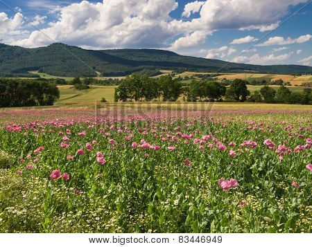 Pink Opium Poppy Field In A Rural Landscape
