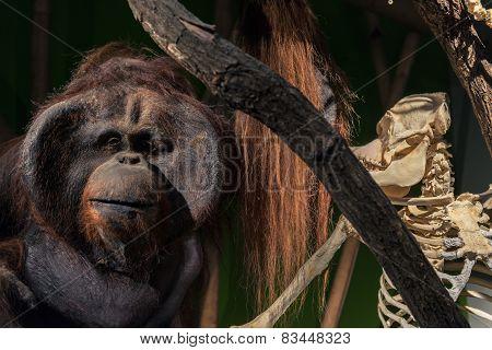 Dead and alive ape closeup