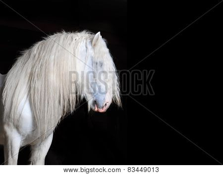 White Shire Horse With Black Background