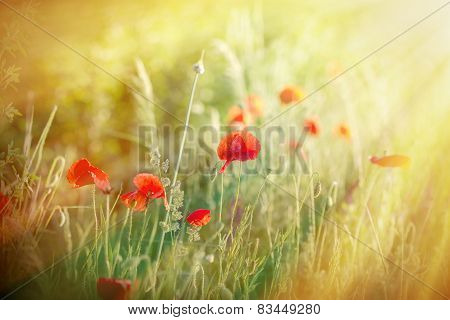 Meadow flowers - red poppy flowers