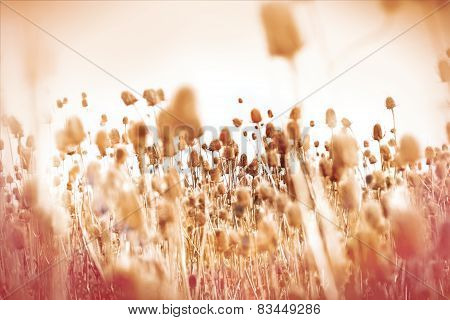 Dry thistle - dry burdock in meadow in autumn