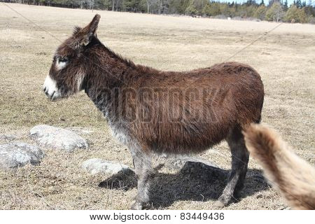 Donkey-Brown