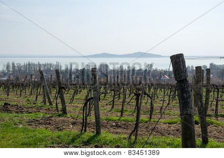 Vineyard In Badacsony