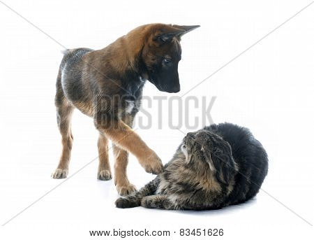 Puppy Malinois And Maine Coon
