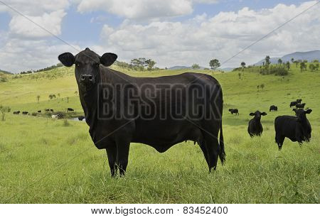 Black Cow In Green Pasture