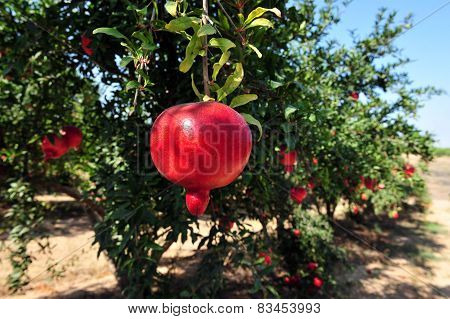Pomegranate Orchard - Jewish New Year Symbol