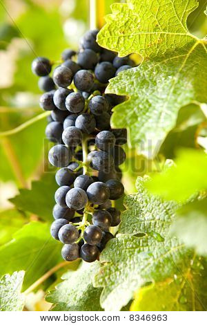 Grapes On A Vine 10