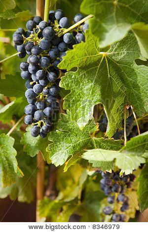 Grapes On A Vine 9