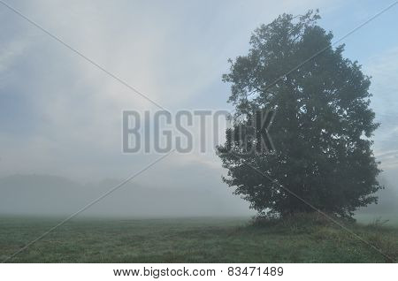Trees In The Fog. Variable Weather. Swit Meadow. Morning With Dew