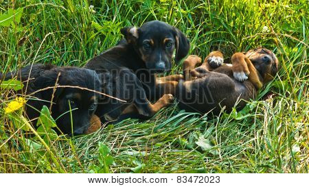 Three puppies playing in a grass at morning