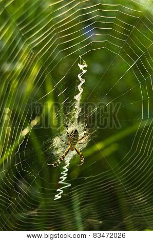 Spider weaving the web in a field