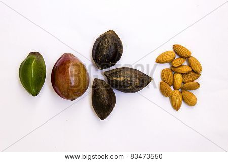 Evolution of almonds from raw to ripe fruit and then to edible almonds seeds / kernel