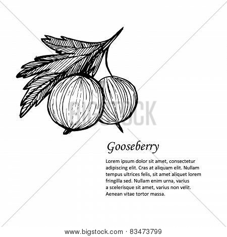 Hand-drawn Vector Illustration. Card Or Banner With Gooseberry. Isolated On White Background.