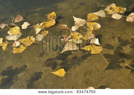 Yellow leaves floating on the water. Autumn on the River