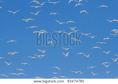 Huge Swarm Of Terns Taking Off From Lagoon In Sun