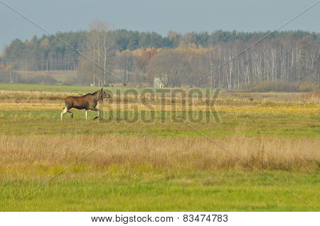 Moose, Animals Running on meadow. Autumn In The Swamps.