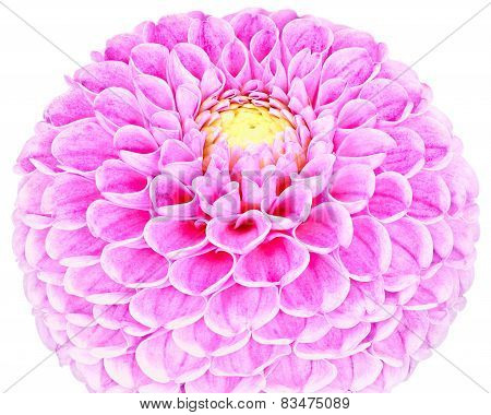 Dahlia, Purple,lilac Colored Flower On White Background