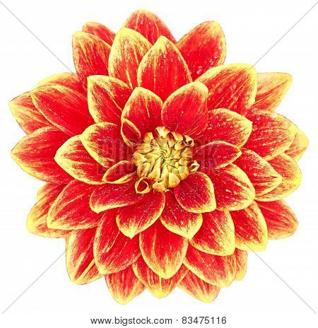 Dahlia, Orange, Yellow Colored Flower Head On White Background