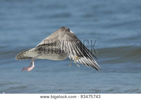 Seagull Flying, Searching For Food Over The Waves. Baltic Sea In Poland.