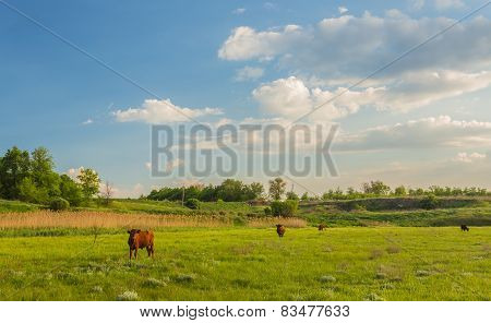 Cows grazing in green meadow.
