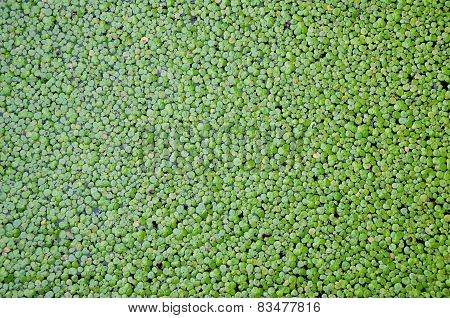 Duckweed Covered On The Water Surface For Background