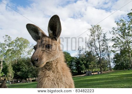 Standing Kangaroo In Zoo