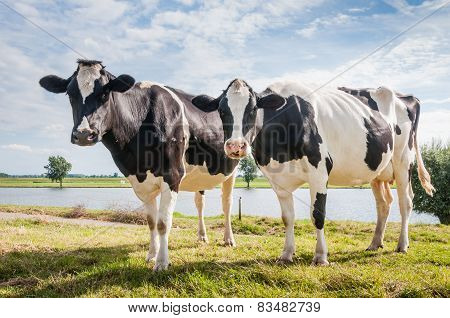 Two Cows Together Standing On Grass At The Riverside