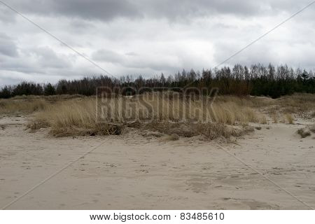 Dune Grass With Yellow Line In The Sand And Pine