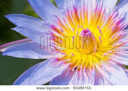 Close Up Lotus Flower