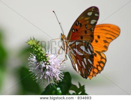 Agraulis Vanillae Butterfly