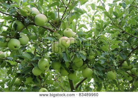 English Orchard Tree.