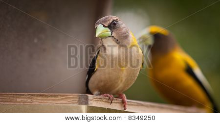 Female Evening Grosbeak Closeup