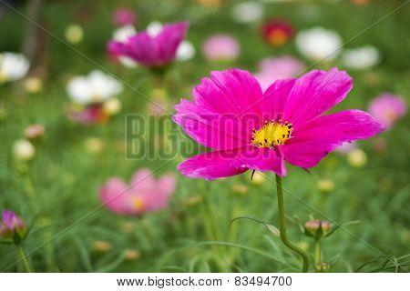 Pink Flower In A Garden