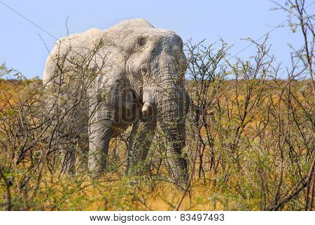 Isolated Bull Elephant in Etosha