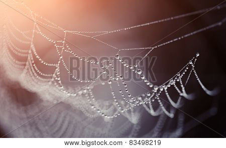 Cobweb In Dew Drops