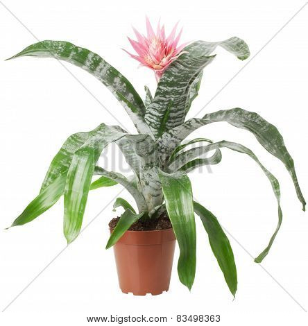 Houseplant With Pink Flower Isolated On The White Background