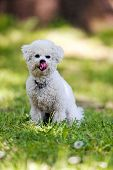 image of irresistible  - cute small bichon sitting in grass in the park notice - JPG