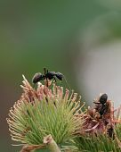 Black Carpenter Ants