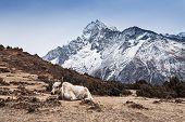 image of yaks  - Yak and mountains on background Everest region Himalaya - JPG