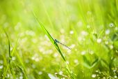 image of dragonflies  - Small blue dragonfly on the green grass in the field - JPG