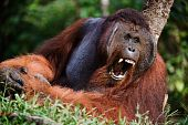 stock photo of samson  - Borneo - JPG